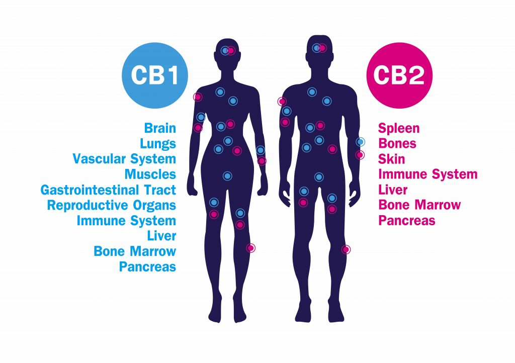 human-endocannabinoid-system-1024x722.jpg