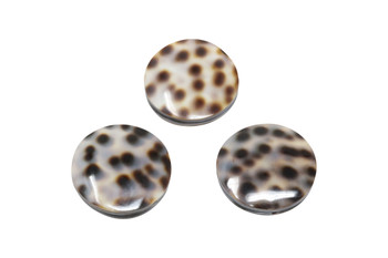 Tiger Cowrie 20mm Sea Snail Shell - Sold Individually