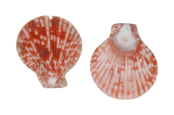 Pectin Shell 45x50mm