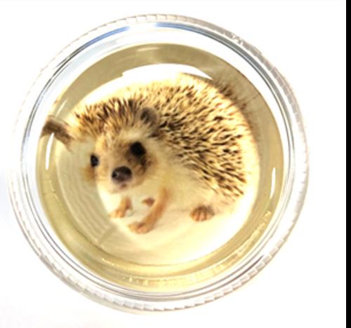 Magic Rosin- Harriet the Hedgehog (HDG)