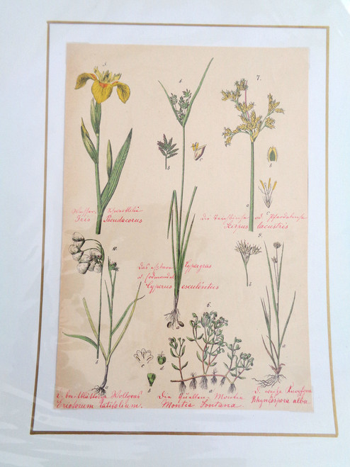 S. Pflanzenreichs Grass Lithograph with Original Handwriting. Montia Fontana
