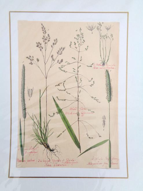S. Pflanzenreichs Grass Lithograph with Original Handwriting.  Aira Flexuosa.