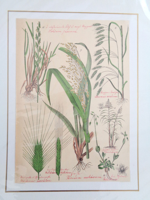 S. Pflanzenreichs Grass Lithograph with Original Handwriting.  Lolim Perenne.