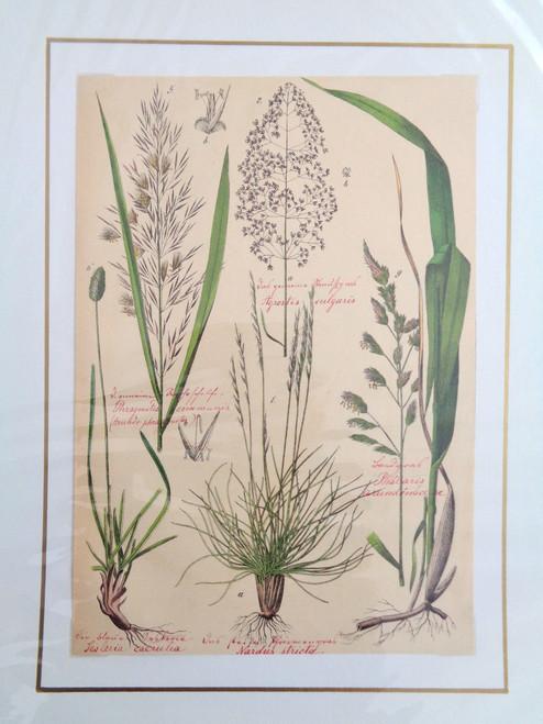 S. Pflanzenreichs Grass Lithograph with Original Handwriting.  Nardus Stricta.