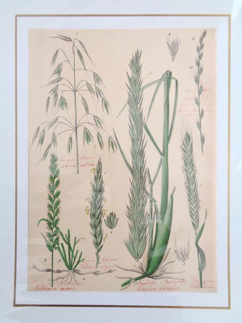 S. Pflanzenreichs Grass Lithograph with Original Handwriting.  Elymus Arenarius.