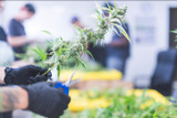 How to Find Great Trimmers for your Cannabis Operation