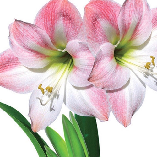 Reminiscent of an orchid, the exquisite blooms of the Israeli Apple Blossom Amaryllis are both delicate and bold.