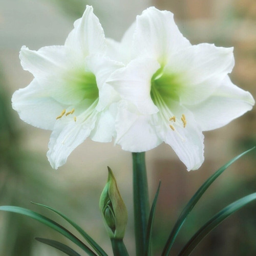 Pure white single blooms with a soft green center offer elegant simplicity.