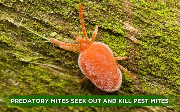 Orcon Predatory Mites (Delivered To Your Door)