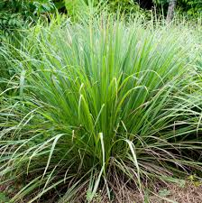 lemongrass-herb.jpg