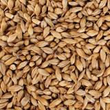 Pilsner Malt Grain