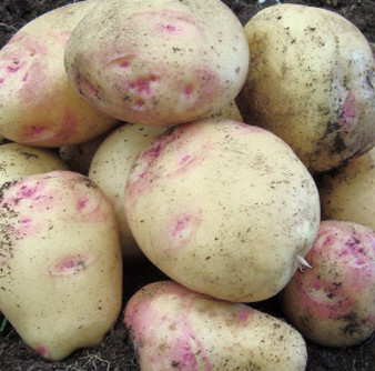 Seed Potatoes Cara 2kg