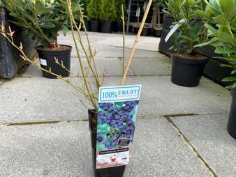 Blueberries Bluecrop