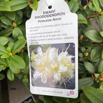 Dwarf Rhododendron Princess Anne 3L