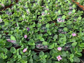 Bacopa Great Classic Pink