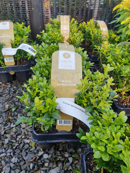 Buxus Sempervirens Pack
