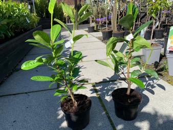 Prunus Laurocerasus 'Rotundifolia' 2L