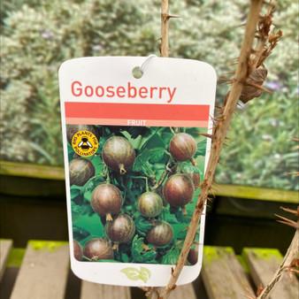 Gooseberry Black Velvet