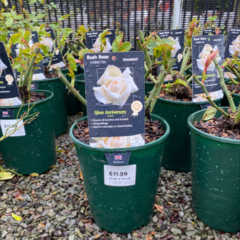 Bush Rose 'Silver Anniversary'