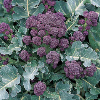 Brassica Seed Collection - 4 in 1