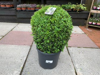 Buxus Sempervirens / 40 CM BALL (2 for £90)