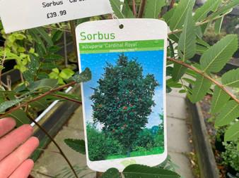 Sorbus 'Cardinal Royal'