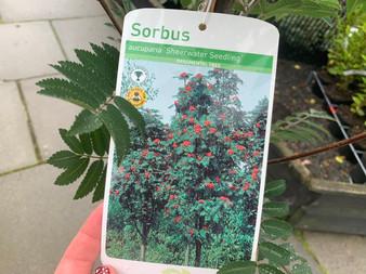 Sorbus 'Sheerwater Seedling'