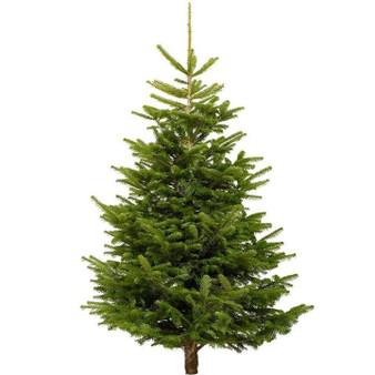 Nordmann Fir Cut Real Christmas Tree, 5ft - 6ft (150-180cm)