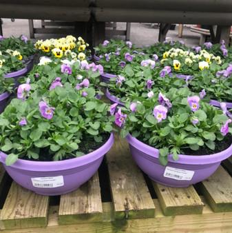 Pansy/Viola Bowl Planter
