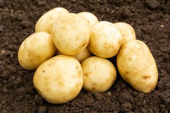 Saxon Seed Potatoes