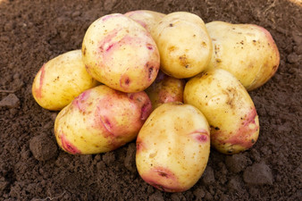 Carolus Seed Potatoes