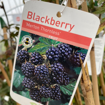 Blackberry Adrienne (New Thornless)