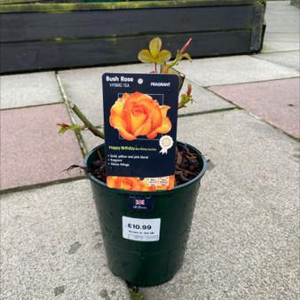 Happy Birthday Bush Rose 3L