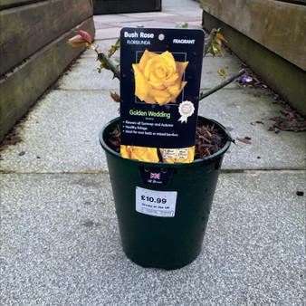 Golden Wedding Bush Rose 3L