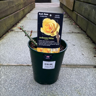 Anniversary Wishes Bush Rose 3L