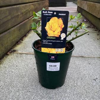 Chinatown Bush Rose 3L
