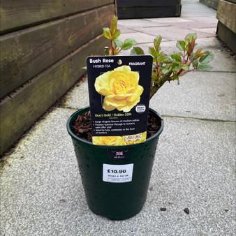 Golden 50th Bush Rose 3L