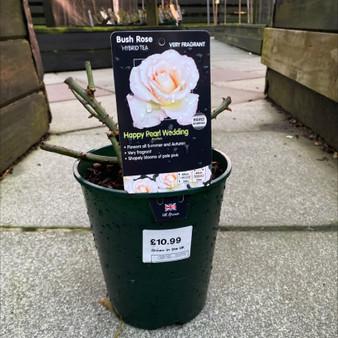 Happy Pearl Wedding Bush Rose 3L