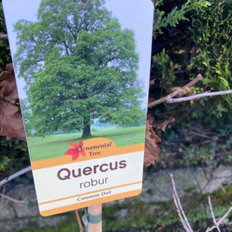 Quercus Robur 10LITRE