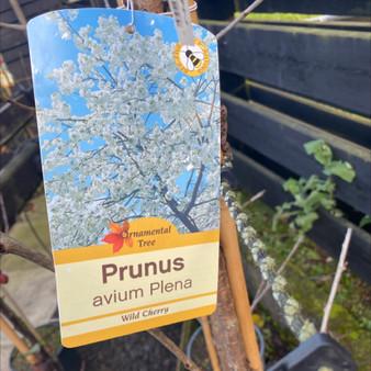 Prunus Avium Plena 10LITRE