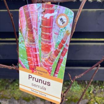 Prunus Serrula 10LITRE