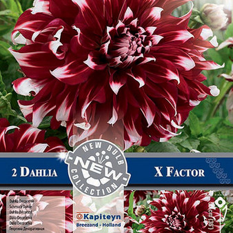 Dahlia X Factor