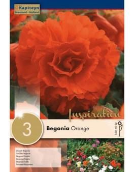 Begonia Double Orange (Kapiteyn)