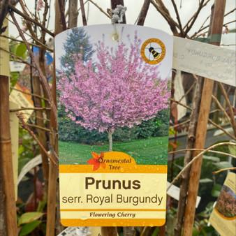 Prunus Royal Burgundy 7.5Lt