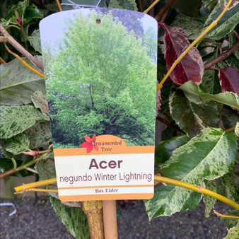 Acer Negundo Winters Lighting 10lt