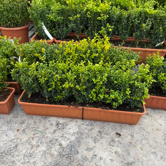 Buxus Sempervirens 20L Trough