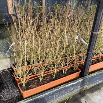 Ligustrum ovalifolium 20L Trough