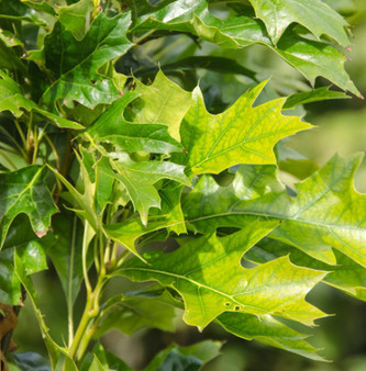 Quercus pal. 'Green Pillar' 35L
