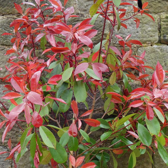 Photinia Red Robin 9.5L