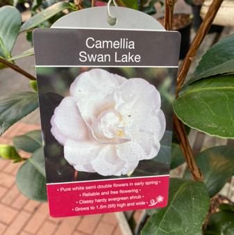 Camellia 'Swan Lake' 4L